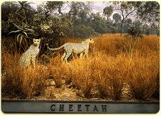 cheetah diorama - Google Search