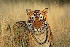 Tiger in Golden light | by Saran Vaid