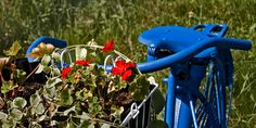 Sale Special 8x16 Panoramic Print Pearl or Canvas Finish Blue Bike with Flowers.  20% discount on either the Pearl or Canvas Finish
