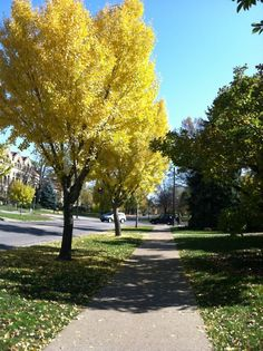 Ginkos in the fall.