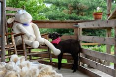 """{Pin 1 of 2}  From June, 2014 ~ Punkin's Patch at Equinox Farm in Kentucky: """"Adventures In Babysitting"""" ~ Serta Sheep #20  was babysitting  sweet lamb Baaxter, who ended up in """"time out"""" for a short time.  One blog reader suggested that Baaxter's red bandana """"is obviously giving him a certain attitude!"""""""