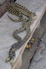 Visit Castlewood State Park for Snakes Alive Every Sunday #castlerockco