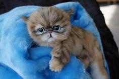 Persian kitten Exotics by By Tsybina Natali | Bear Pile