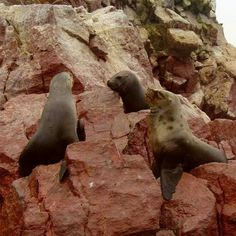 #SeaLions enjoying basking in the sun on the rock formations of the #IslasBallestas!  The #PoorMansGalapagos in #Pisco #Paracas are one of the #TreasuresOfTraveling in #Peru #SouthAmerica #VintagePhoto2004 #NaturalBeauty #LatinAmerica #TravelBlog #WorldTravel #WorldTraveler #LiveLifeAdventurously #Photography #TravelPics #TravelPhotos #Explore #NeverStopExploring #MyJourney #BeautifulViews #LukeKeeler  http://treasuresoftraveling.com/the-ballestas-islands-are-the-poor-mans-galapagos/