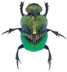 Phanaeus damon Location: Nicaragua Size:2 cm