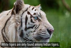 #Interesting #travel facts: The White tigers are only found among Indian Tigers.