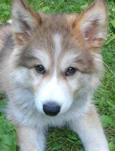 Cutest #pet of the day, Calli, is 50% wolf and 100% adorable! Submit your cute pet photos to WDcutepets@gmail.com!