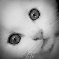cat with big eyes - Pesquisa Google