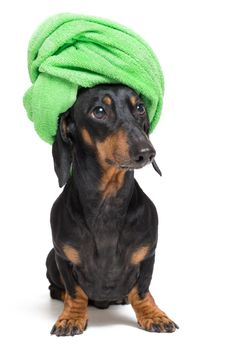 Dog  breed of dachshund, black and tan, after a bath with a green towel wrapped around her head isolated on white background #dachshund