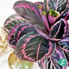 Outdoor Plants, Indoor Outdoor, Calathea Plant, Pink Plant, Houseplants, Flora, Plant Leaves, Succulents, Gardening