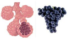 Grapes resembles the alveoli of the lungs. The lungs are made of branches of ever-smaller airways that finish up with tiny branches of tissue called alveoli. These structures allow oxygen to pass from the lungs to the blood stream. A diet high in fresh grapes has shown to reduce the risk of lung cancer and emphysema.