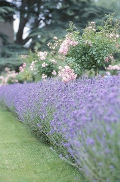 Pruning Lavender:  In spring, and don't cut all the way down to the woody bit. Must leave green or it will kill the plant.