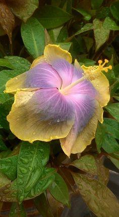 Hibiscus rosa-sinensis 'Moorea Hot Charley'