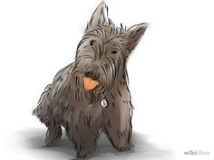 Groom a Scottish Terrier Step 1.jpg