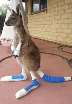 THE IMPACT OF BUSHFIRES ON FAUNA. A kangaroo being treated after a bushfire in Western Australia. An article about a kangaroo who had been injured in bushfires and how he was nursed and cared for back to health. Animals And Pets, Baby Animals, Funny Animals, Cute Animals, Funny Animal Pictures, Cute Pictures, Beautiful Creatures, Animals Beautiful, Australia Animals