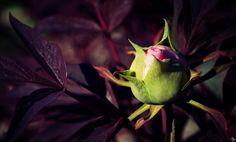 Naissance d'une fleur au langage modeste et sincère... #Pivoine
