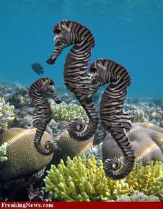 Zebra Sea Horses Photo: This Photo was uploaded by LaDonna_62.