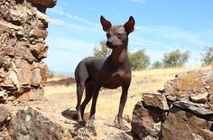 The Peruvian Inca Orchid, or Peruvian Hairless Dog, is one of the rarest and weirdest looking dog breeds in the world. Dating back to pre-Incan times, the Peruvian Inca Orchid is a dog that is rooted deep in Peruvian culture and is also the country's national dog.