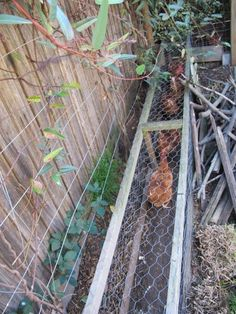 The Magical Chicken Tunnel.  They are not magical, but it has a nice ring to it... It is a mesh wire tunnel about 35cm high & 30cm wide through which the chickens can dart back & forth between certain garden areas.