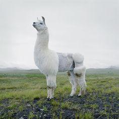 If I had a llama, I would cut it's hair like this!