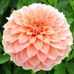 "Bracken Palomino Dahlia (4-6"" bloom)"