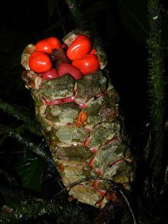 Zamia fairchildiana L.D. Gómez (Zamiaceae)    Vascular Plants of the Osa Peninsula, Costa Rica