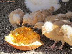 Top 5 Myths and Facts about Treats for Chickens -- Community Chickens