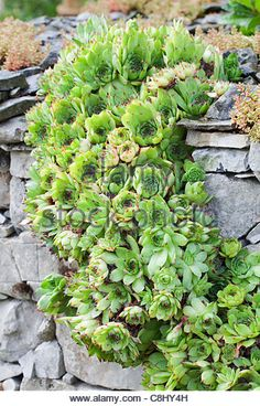 Sempervivum tectorum in drystone wall - Houseleek - Stock Image