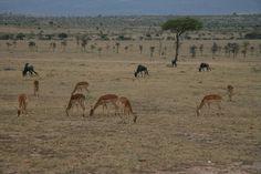 Enchoro Wildlife Camp Great Deals on Masai Mara Road Transport Safari...