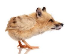 Delicate looking foxchick