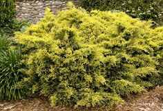Sea Of Gold® Juniper's lacy, golden-yellow foliage makes this compact evergreen an excellent choice as a colorful accent. Color is retained and deepens in winter better than other gold-tipped varieties. Excellent choice for mass plantings, along foundations, fence lines, driveways and island plantings.