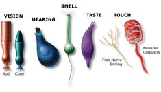 For different kinds of sensations, different kinds of receptor cells