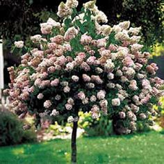 Hydrangea Tree. We have 4 of these in our courtyard garden so beautiful