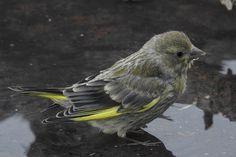 Greenfinch, Birds, Animals, Beauty, Animales, Animaux, Bird, Animal, Animais