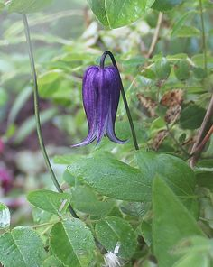 Pendulous and indigo, the flowers of Rooguchi clematis dangle from seductive black stems.  Yow!    Rooguchi clematis / Clematis integrifolia 'Rooguchi'