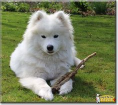 Eevee the Samoyed, the Dog of the Day