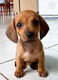 36 Absolutely Adorable And Funny Animals 36 Absolutely Adorable And Funny Animals. More funny animals here.[optin-cat id& Dachshund Puppies, Cute Dogs And Puppies, Doggies, Dachshunds, Cute Animals Puppies, Adorable Puppies, Cute Dogs And Cats, Puppies Puppies, Daschund