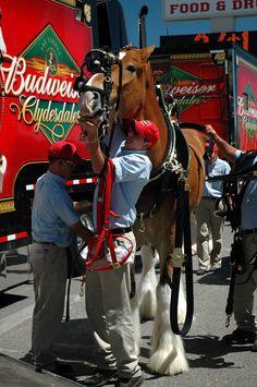 Budweiser Clydesdales – Simply Marvelous Horse World Clysdale Horses, Draft Horses, Show Horses, Breyer Horses, Pretty Horses, Beautiful Horses, Animals Beautiful, Adorable Animals, Barrel Racing Saddles