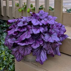 Garden Planning Heuchera 'Wild Rose' PPAF - Elle Plug (NEW For - New Hampshire Hostas - Pre-Order new 2019 Hostas now for Spring planting. Beautiful new introductions go quickly. NH Hostas is a Top 30 Gardening Source at Daves Garden Watchdog. Garden Shrubs, Shade Garden, Garden Landscaping, Purple Garden, Garden Beds, Shade Landscaping, Garden Benches, Veg Garden, Landscaping Design