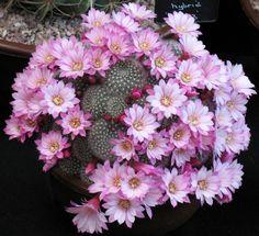harrogate flower show : Rebutia hybrid - Harrogate 2007 Flowering Succulents, Cacti And Succulents, Planting Succulents, Cactus Plants, Planting Flowers, Small Cactus, Mini Cactus, Cactus Flower, Orchid Cactus