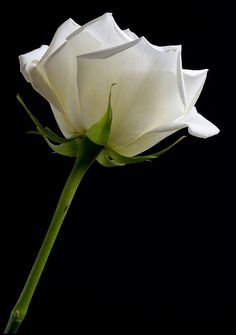 a white rose is a refreshing change.