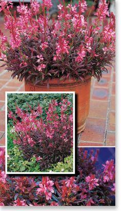 Gaura 'Crimson Butterflies' 45cm x 60cm (hxw) - love the foliage - contrast plant