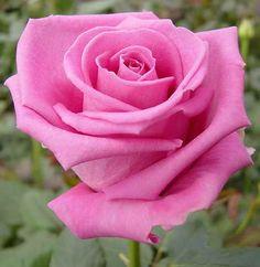 www.handmadeweddings.co.uk Pink aqua rose, a flower in season in the summer. A perfect wedding flower