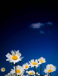 Blue Sky Daisies (by n55ffc)