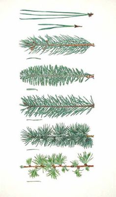 59 Ideas Evergreen Tree Illustration For 2019 Botanical Drawings, Botanical Illustration, Botanical Prints, Tree Illustration, Christmas Illustration, Theme Nature, Tree Identification, Evergreen Trees, Evergreen Tattoo