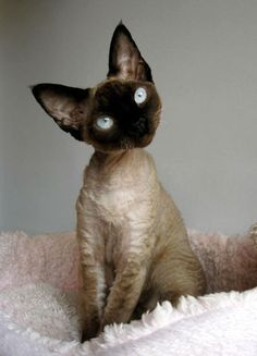 Check out the amazing eyes on this Seal Point Devon Rex!
