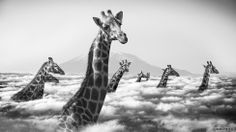 Giraffes with heads in clouds