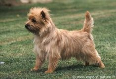 Carin terrier--perky little dogs