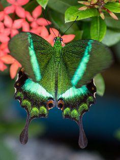 "Butterfly (papilio palinurus) ~ Miks' Pics ""Butterflies and Moths l"" board @ http://www.pinterest.com/msmgish/butterflies-and-moths-l/"