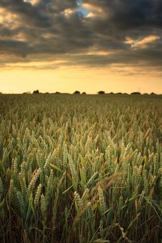 Wheat fields, agriculture, farm